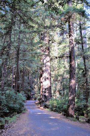 Ssunlight shines on ancient redwood primordial forest in morning at Richardson Grove State Park. Stock Photo