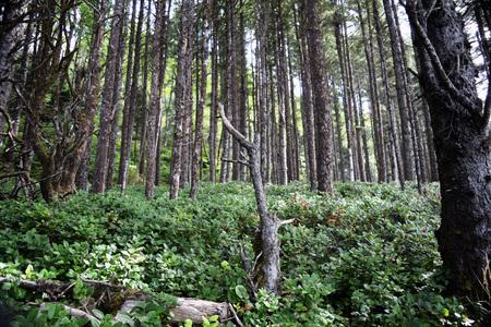Naaldbomen staan temidden van dicht kreupelhout in bosrijk groen langs de kuststreek van Oregon