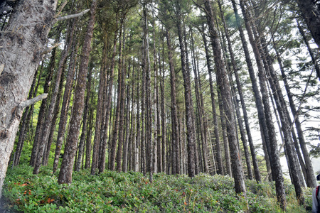 Dark coastal coniferous trees stand amidst dense underbrush in forested greenery along Oregon's coast.