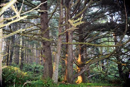 Ochtendzonlicht verlicht donkere, knoestige, bemoste naaldbomen langs het weelderige kustgebied van Oregon.