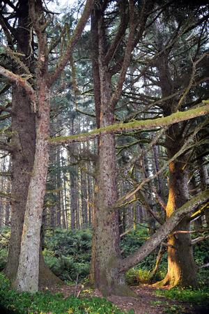 Mossige naaldbomen komen tot leven in de ochtend zonlicht langs de weelderige kust van Oregon.