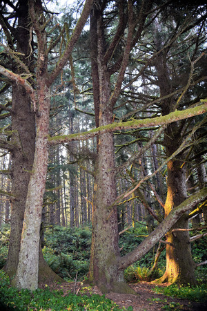 Mossy coniferous trees come to life in morning sunlight along Oregon�s lush coastal area. Stock Photo