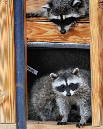 Playful raccoons take up residence in house under construction and find ways to play. Stock Photo