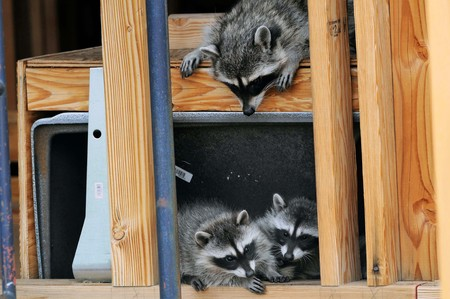 Raccoon mom looks down on two cubs in between studs at house under construction