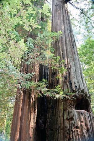 Het vroege ochtendzonlicht glanst op het oude redwood oerwoud bij Jedediah Smith State Park.