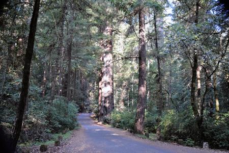Het vroege ochtendzonlicht glanst op het oude redwood oerwoud in Richardson Grove State Park. Stockfoto