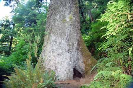 Grote Sitka Spruce Tree staat in dichte groene kust bos in Cape Perpetua, Oregon