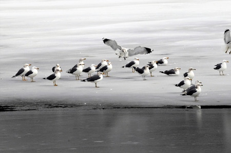 Seagull lands among other gulls on frozen lake all in gray, white and black Stock Photo