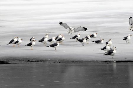 Seagull landt onder andere meeuwen op bevroren meer allemaal in grijs, wit en zwart