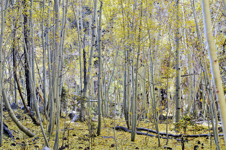 Colorful  Aspen grove of white bark trees with ground covered by bright yellow .
