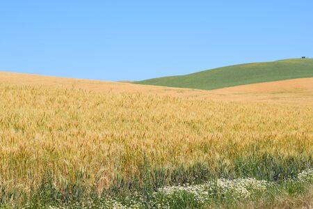 Farmland of Rolling Wheat Fields in Washington State