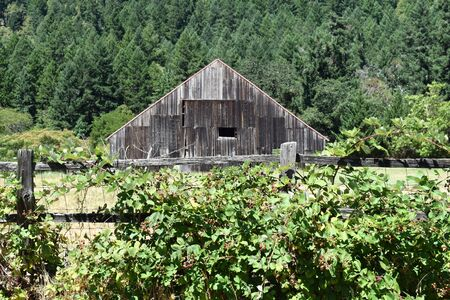 Rustic Old Barn by Forest Fronted by Fence with Berry Vines