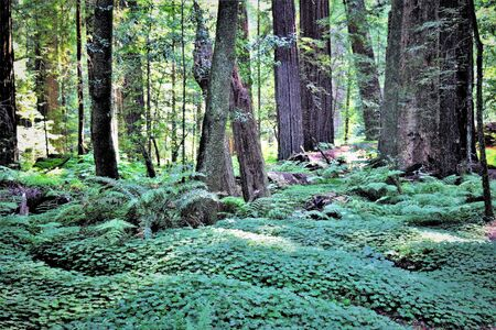 Primordial redwood forest near coastal Highway One, California, looking lush and green in midday sun.
