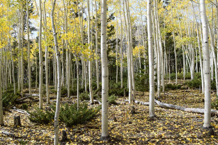 Tall Aspen trees lose their golden leaves in autumn dotting the ground with color. Stock fotó