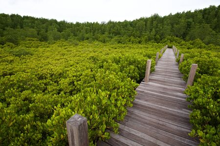 The wood bridge at the Mangrove forest, Thailand photo