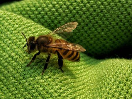A honey bee buzzing around.