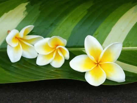 Fresh Plumeria at Thai spa photo