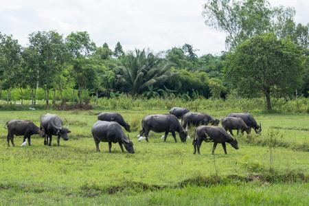 Bafffalo in green field photo