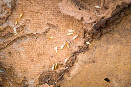 swarm: Wooden walls were destroyed by termites swarm