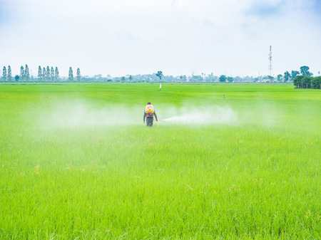 pesticides: Farmer spray pesticides in the rice growing