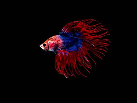Action and movement of Thai fighting fish on a black background, Crowntail Betta