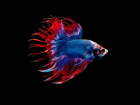Action and movement of Thai fighting fish on a black background, Crowntail Betta Stock fotó