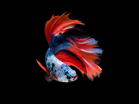 Action and movement of Thai fighting fish on a black background, Halfmoon Betta