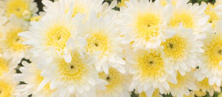 The patterns and textures are arranged and the beautiful color of the soft chrysanthemum