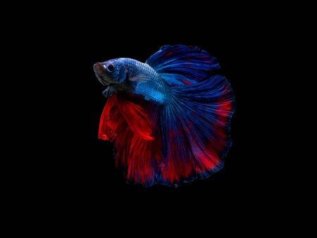 Action and movement of beautiful Thai fighting fish on a black background