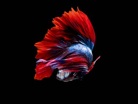 Action and movement of Thai fighting fish on a black background