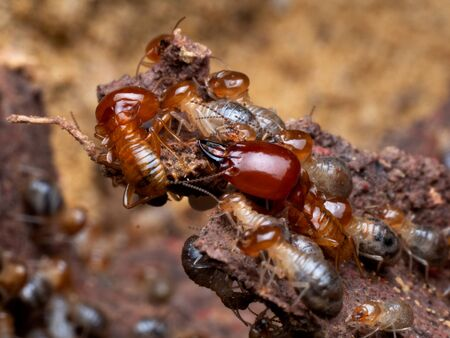 Termites are social creatures that damage people 's wooden houses because they eat wood, But termites help to create balance in nature Archivio Fotografico