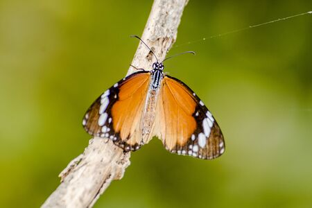 macrophoto: butterfly