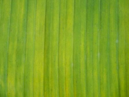 colors background: banana leaf Stock Photo