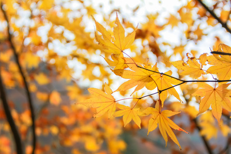 red maple leaf: autumnal background, slightly defocused Orange maple leaves Stock Photo