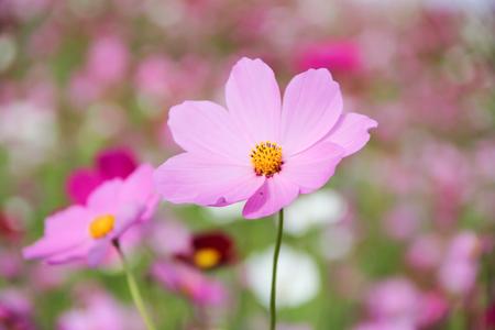 fragility: flower background, slightly defocused Pink Cosmos.