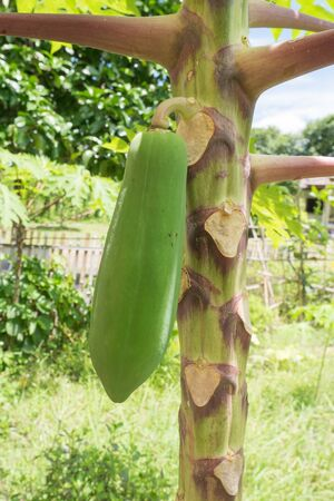 willy: papaya tree Stock Photo