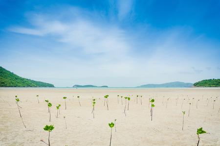 mangrove tree at the beach On clear sky Stockfoto