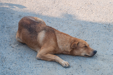 molosse: Sleeping dog in bangkok