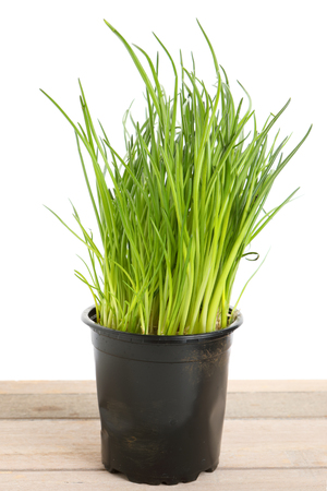 green chives in a pot with white background
