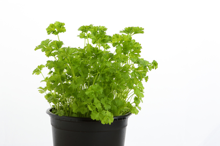 green parsley in a pot with white background Stok Fotoğraf