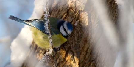 blue tit: M�sange bleue en hiver Banque d'images