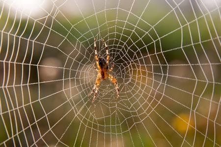 Web で待機している庭のクモ 写真素材