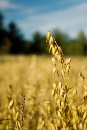 oat plant: Growing oat plant
