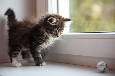 cute kittens: shaggy kitten playing on the windowsill in the morning