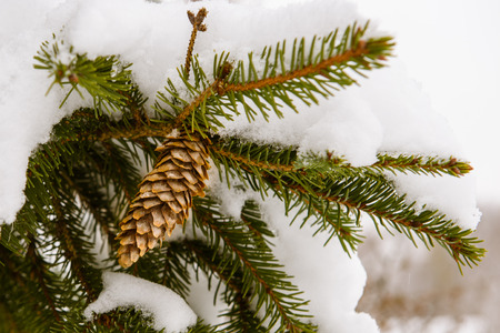 bough: Fir cones on a branch in the winter under the snow Stock Photo