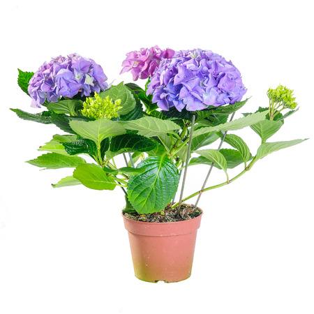 The blue hydrangea in a pot