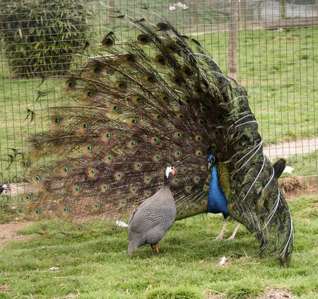 a male peacock fascinates his mate