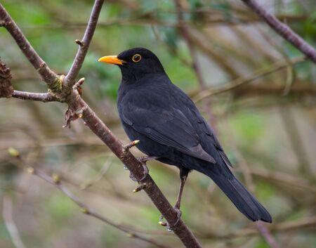 un blackbird avec anneau orange volant perché sur une branche