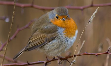a fat Robin on a branch