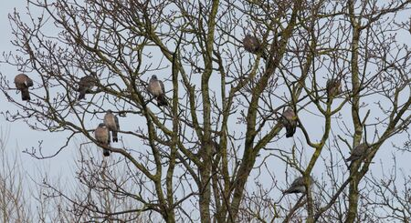 Ten pigeons gather together to roost Stock Photo
